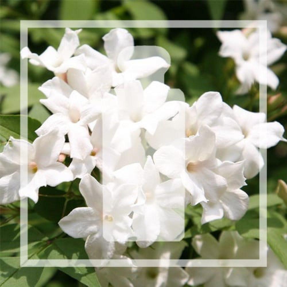 Vegan alternative White Jasmine & Mint by Jo Malone