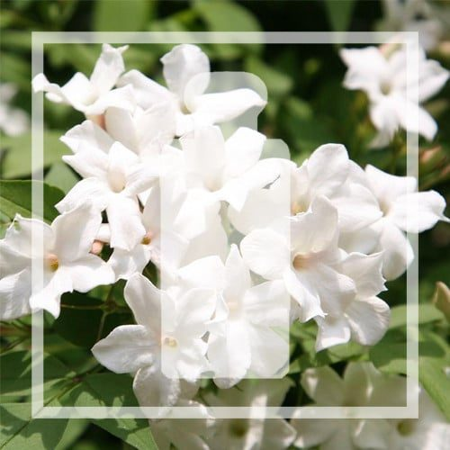 Vegan alternative White Jasmine & Mint by Jo Malone